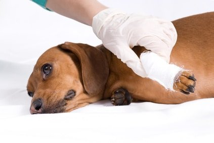 Gerade bei einem Unfall macht sich die Hunde OP Versicherung für Dackel wortwörtlich bezahlt.