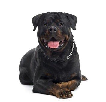Mit der Hunde OP Versicherung für Rottweiler sorgenfrei durchs Leben!