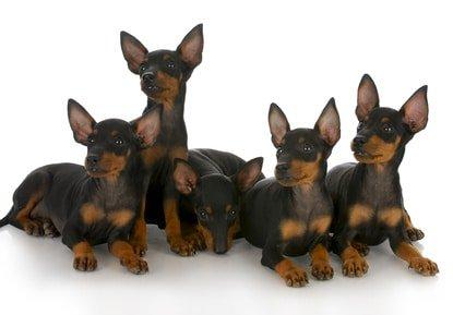 Hunde OP Versicherung für Dobermann
