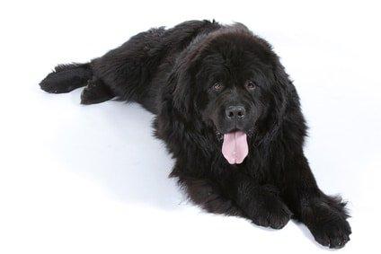 Schützen Sie Ihren Liebling mit einer günstigen Hunde-OP Versicherung für Neufundländer!
