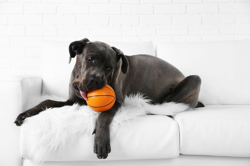 Hunde-OP Versicherung für Cane Corso