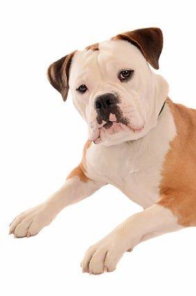 Mit der Hunde-OP Versicherung für Old English Bulldog schützen Sie sich vor hohen Tierarztkosten!