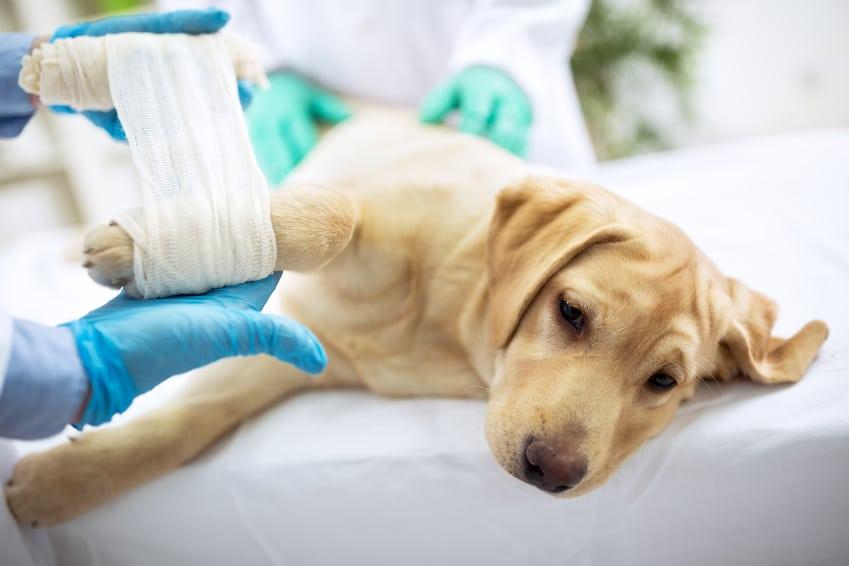 Hunde-OP Versicherung für Labrador