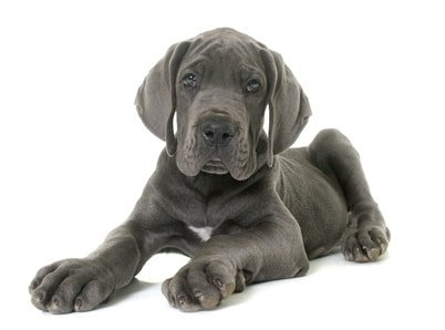 Schon im Welpenalter lohnt sich die Hunde OP Versicherung für Dogge.