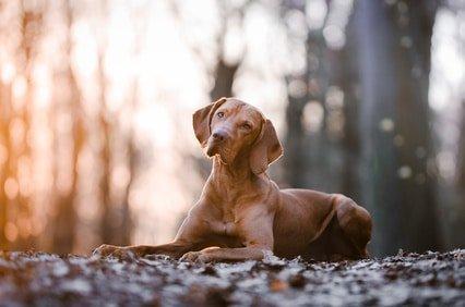 Mit der Hunde OP Versicherung für Magyar Vizsla können Hund und Halter das Leben sorgenfrei genießen!