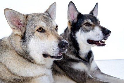 Mit der Hunde-OP Versicherung für Wolfshund sind Ihre Lieblinge immer bestens geschützt!